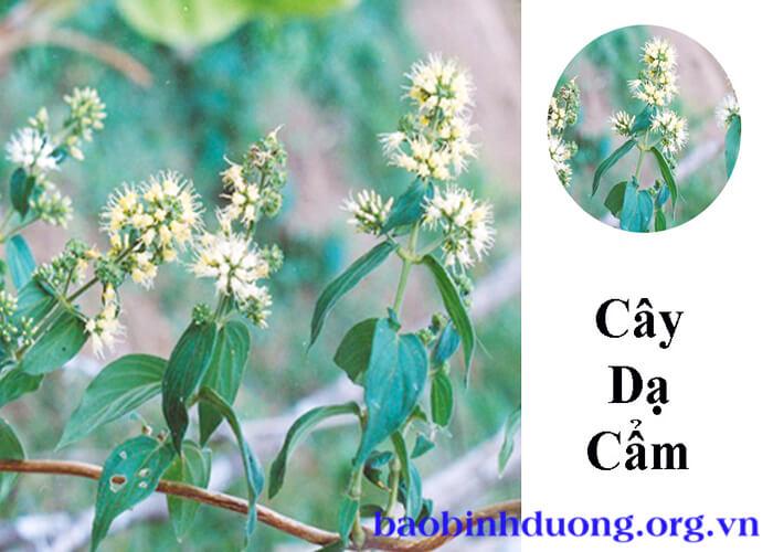 Cây dạ cẩm là cây gì